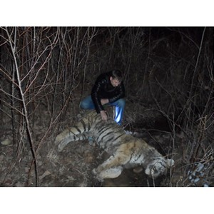 На территории нацпарка браконьерами убит амурский тигр  - Земля Леопарда