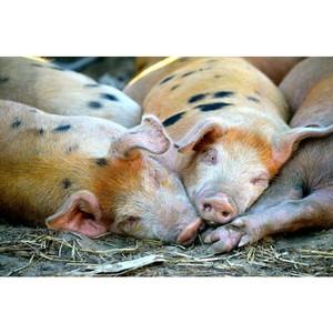 Как повысить продуктивность свиноводства?