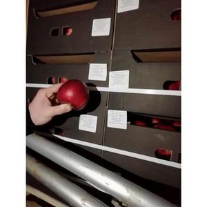 Подделка не прошла - польские яблоки задержаны