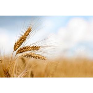 При поддержке Россельхозбанка переработанная кукуруза из ЮФО уйдет на экспорт