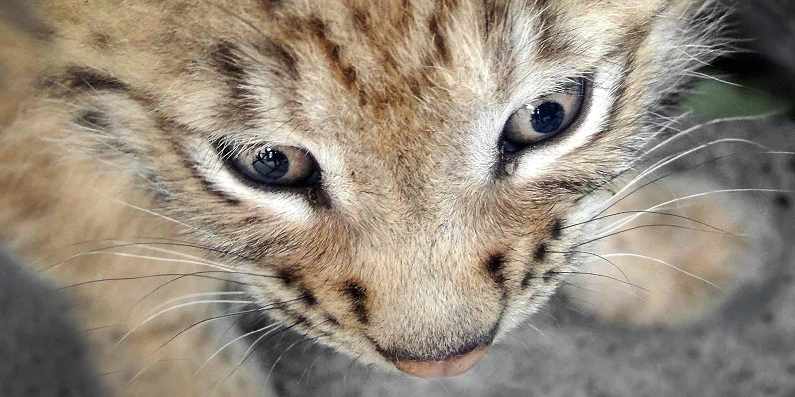 Дружное семейство: у пары восточносибирской рыси в Московском зоопарке снова пополнение