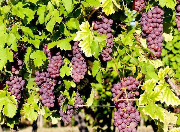 Новое приложение сможет распознать сорт винограда, который использовался при производстве вина.