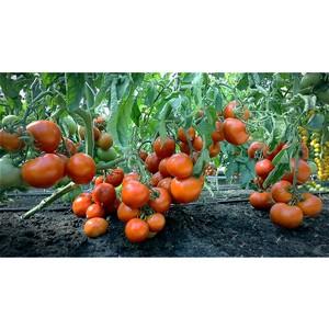 Первый питомник томатов и огурцов создадут в Ингушетии