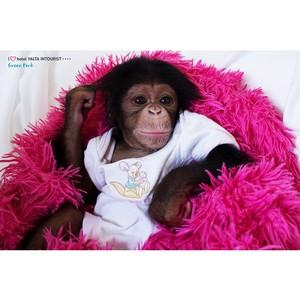 Шимпанзе Луна из зоопарка Отеля Yalta Intourist покорила Ивана Урганта