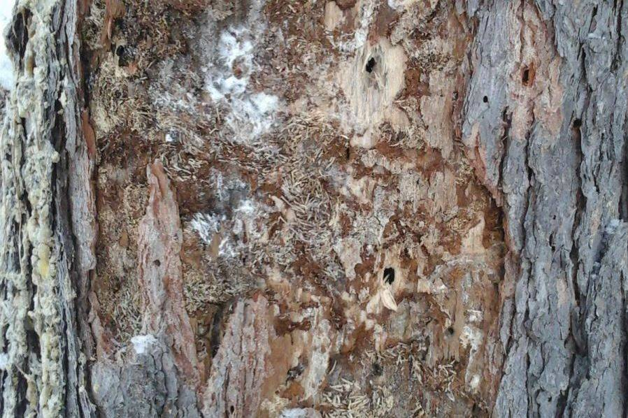 Инвентаризация очагов стволовых вредителей в Томской области