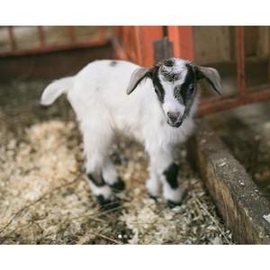 Городская ферма на ВДНХ: пополнение в семье камерунских карликовых коз