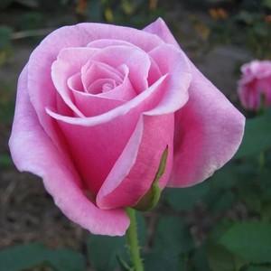 Российский цветок имеет запах