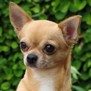 Маленькие породы собак: названия и описание