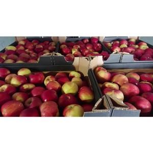 Смоленские таможенники задержали три грузовика с фруктами