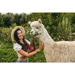Альпака Парк запустили новую услугу «Прогулка с альпака»