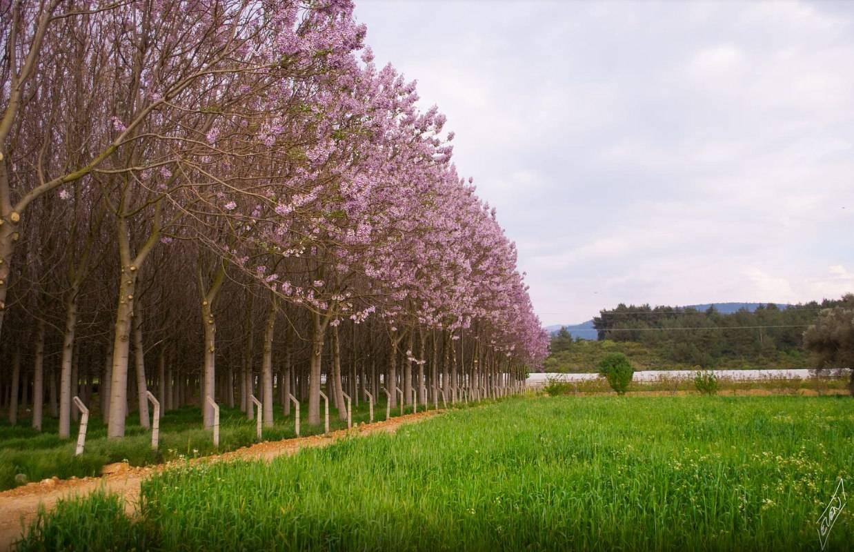 Павловния имеет недостижимое превосходство в плане экологических бенефитов перед любым другим растением на планете