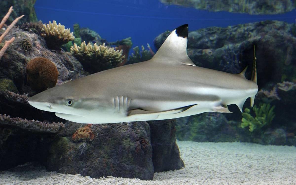 Чернопёрая рифовая акула в аквариуме, у вас дома.