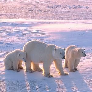 Почему король Арктики в опасности?