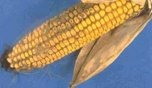 KnowMycotoxins.com: Alltech дебютирует с новым сайтом с расширенным содержанием для профессионалов сельского хозяйства.