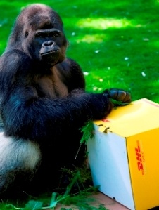 DHL помогла девяти гориллам вернуться в Габон