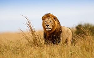 Лев сбежал из заповедника в южной области ЮАР. Местные жители в панике.