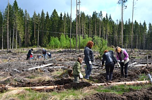«Кивеннапа» приняла участие в акции «Всероссийский день посадки леса»