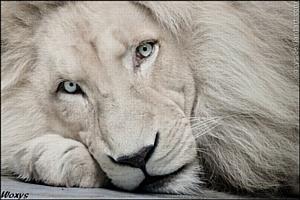 Увидеть белого льва в Киеве совершенно реально