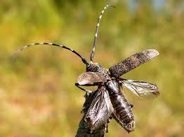 В круглом лесе из Республики Алтай найден черный сосновый усач