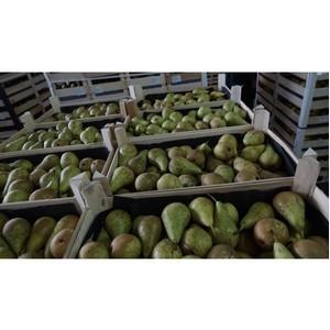 В Омской области пресечена попытка ввоза из Республики Казахстан 36 тонн «санкционных» груш