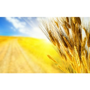 Зерно хранили с нарушениями