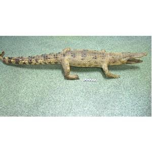 Крокодилы и кораллы «для личного пользования»
