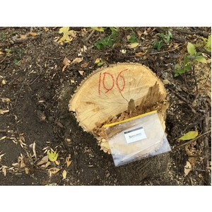 Волгоградские активисты ОНФ обнаружили вырубку живых деревьев на острове Сарпинский