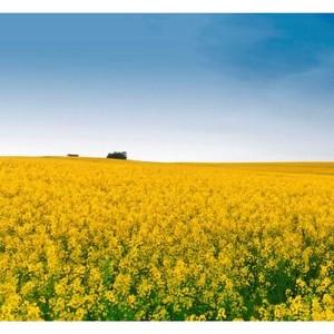 МЖК «Армавирский» начал переработку рапса урожая этого года
