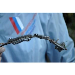 Активисты ОНФ обеспокоены нашествием сибирского шелкопряда в лесах Томской области