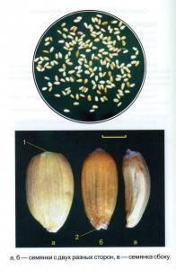 Горчак в партиях пшеницы