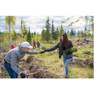 Лесной массив восстанавливается: под Екатеринбургом высадили более 10 000 саженцев сосны и ели