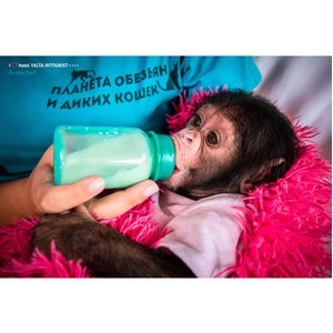 Сенсация в Крымском зоопарке: третье рождение шимпанзе за два года!