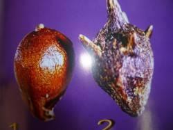 Сорняк амброзия найдена в сое продовольственной