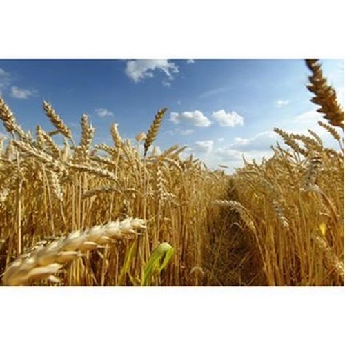 В «Прогресс Агро» завершили уборочную озимой пшеницы