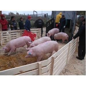 Об итогах работы Россельхознадзора по ликвидации вируса африканской чумы свиней за 2015 год