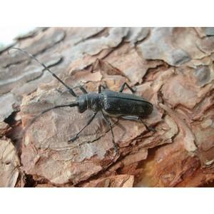 Выявлены очаги распространения черного елового малого усача в Большесельском районе