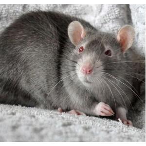 Новосибирцам покажут «красноглазого дьявола»  на выставке крыс и мышей