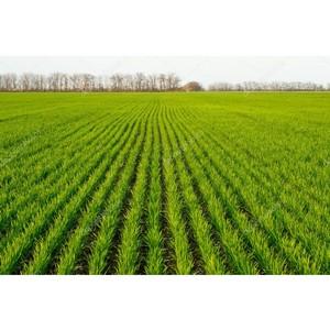 Весенние подкормки озимых - рекомендации для внесения азотных удобрений