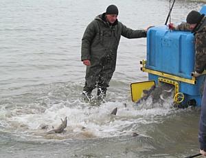 В Новосибирское водохранилище выпущено более 10 тысяч штук молоди сибирского осетра