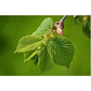 RussiaHerb. Красный вяз – красивое растение и эффективная пищевая добавка