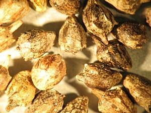 Обнаружена амброзия и повилики в сое
