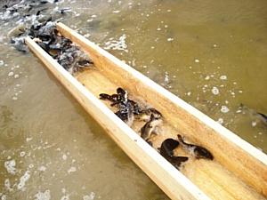 В Новосибирской области началось зарыбление водоемов.