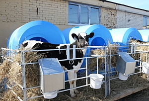Межконтинентальный перелет коров