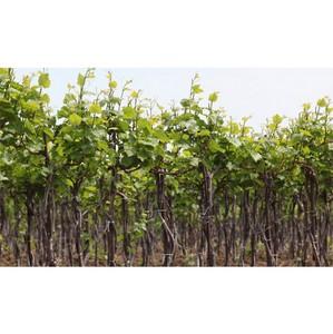 Виноделы Фанагории рассказывают о традициях, творчестве, экспериментах и новых открытиях