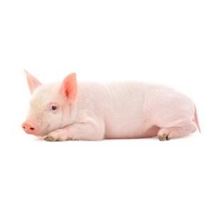 V Международная конференция «Эффективное развитие свиноводства» состоится в Москве