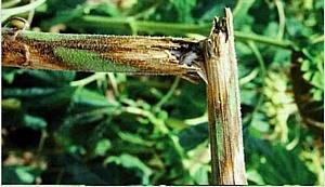 Качество семенного подсолнечника в Ростовской области контролируется тщательно